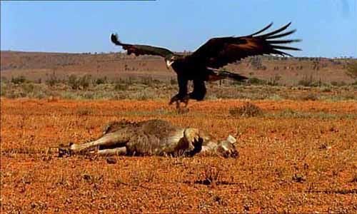 Eagle and Kangaroo
