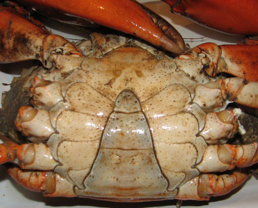 Markings on the underside of a male crab