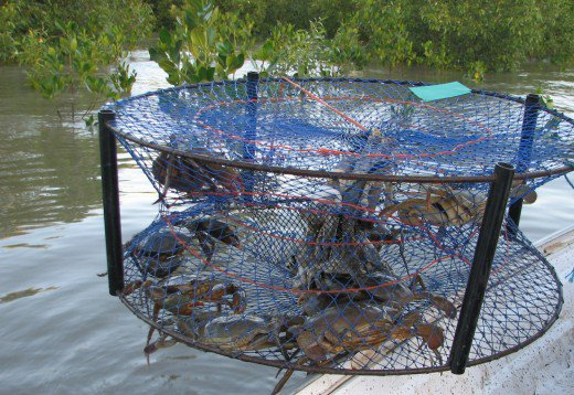 We counted nine crabs in this trap, but all had to go back as they were female or undersize male crabs