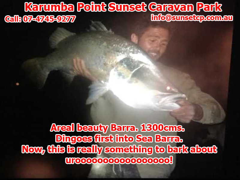 Areal beauty Barramundi 1300 cms. Dingoes first into Sea Barramundi Now, this is really something to bark about