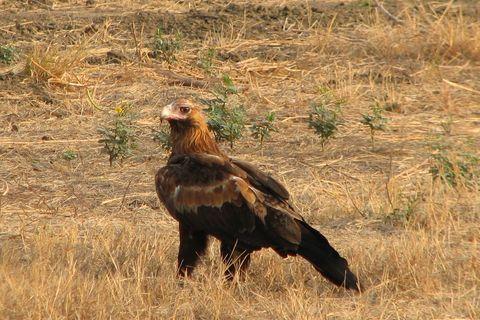A Big Red Roo Karumba Point Sunset Caravan Park WildlifeKarumba Point Sunset Caravan Park Wildlife