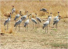 Brolgas Dancing Karumba Point Sunset Caravan Park Wildlife